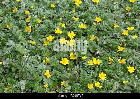 SILVERWEED Potentilla anserina PLANTS IN FLOWER - Stock Photo