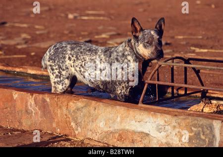 Dog in drinking trough Australia - Stock Photo