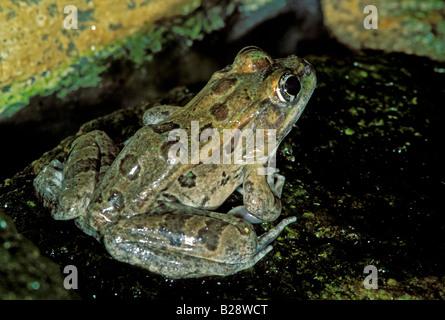 Lowland Leopard Frog Rana yavapaiensis - Stock Photo