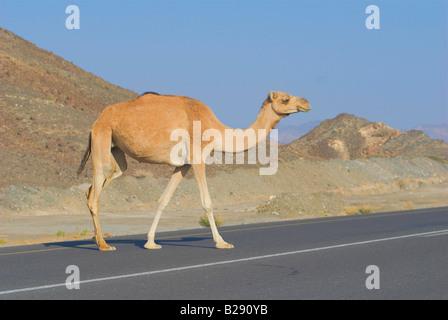 Camel crosses the road Wahiba Sands Oman - Stock Photo