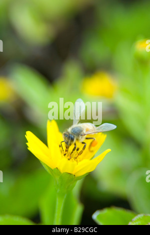 A macro shot of a bee pollinating a yellow flower - Stock Photo
