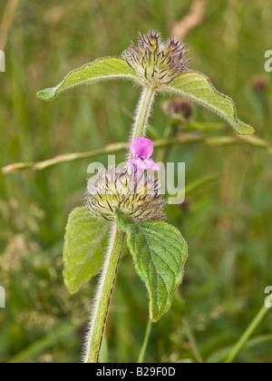 Wild Basil Clinopodium vulgare (Lamiaceae) - Stock Photo