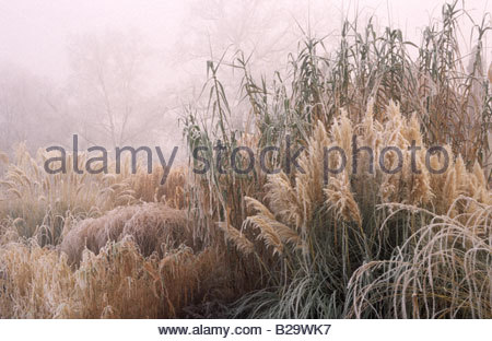 Rhs wisley surrey ornamental grasses in winter calamagrostis stock rhs wisley surrey ornamental grasses pampass grass cortaderia selloana in winter frost and fog stock workwithnaturefo