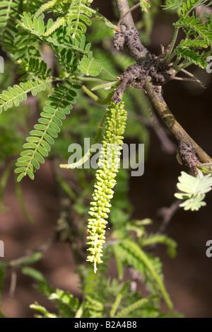 Velvet Mesquite Prosopis velutina Tucson Arizona United States 17 April Flower bud Fabaceae - Stock Photo
