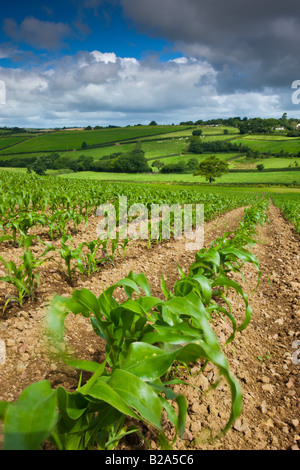 Summer crops growing in farmland Morchard Bishop Mid Devon England - Stock Photo