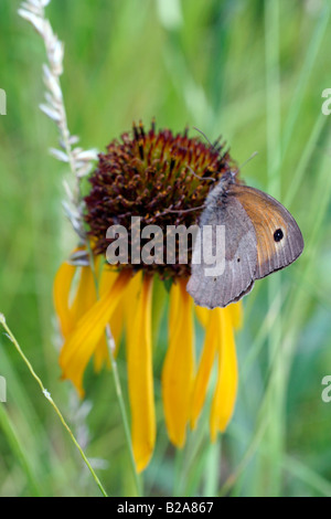 MEADOW BROWN BUTTERFLY MANIOLA JURTINA FEEDING ON YELLOW CONEFLOWER ECHINACEA PARADOXA - Stock Photo