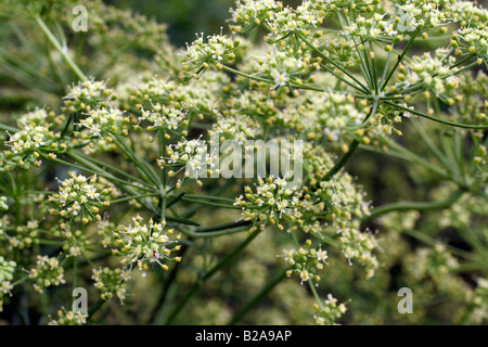 FRENCH LARGE LEAVED PARSLEY ALLOWED TO FLOWER IN ORDER TO COLLECT SEED - Stock Photo