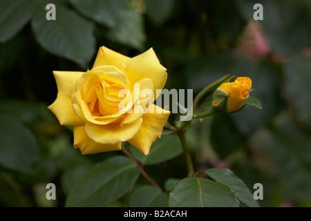 golden gate medium yellow hybrid tea english rose korgolgat flowering with bud and leaves - Stock Photo