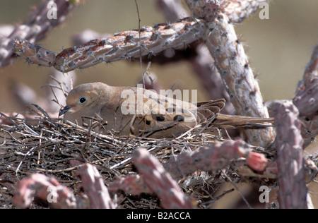 Mourning Dove Zenaida macoura Tucson ARIZONA United States May Adult on nest in Cholla cactus Columbidae - Stock Photo