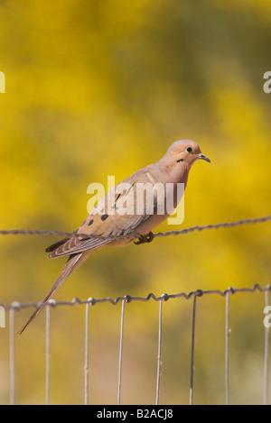 Mourning Dove Zenaida macoura Tucson Arizona United States 19 April Adult on fence Columbidae - Stock Photo
