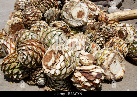 Mezcal Factory Nr Oaxaca, Mexico. Hearts of Blue Agave, Agave cupreata, Called Pineapples and used to Make Mezcal - Stock Photo