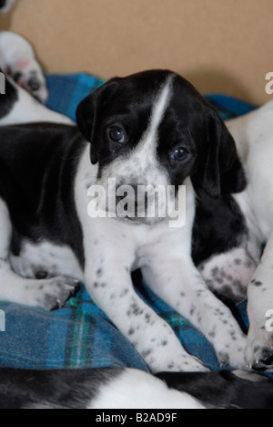 Black and white Pointer dog Stock Photo, Royalty Free ...