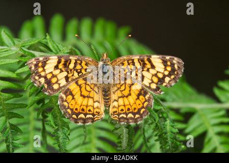 Mylitta Crescent Phyciodes mylitta - Stock Photo