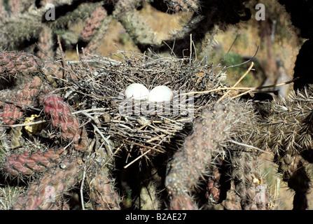 Mourning Dove Zenaida macoura Tucson ARIZONA United States May Nest eggs Columbidae - Stock Photo