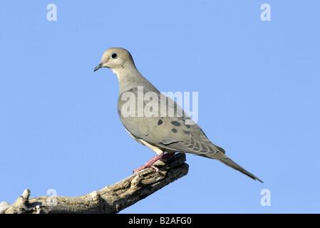 Mourning Dove Zenaida macoura Tucson Arizona United States 9 April Adult Columbidae - Stock Photo