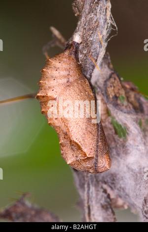 Mylitta Crescent Phyciodes mylitta pupa - Stock Photo