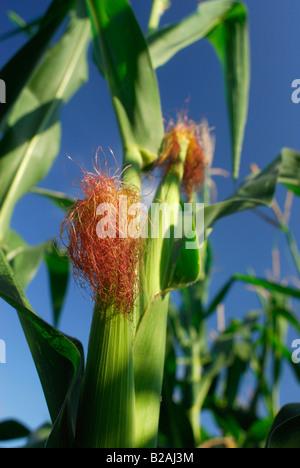 Corn plant - Stock Photo