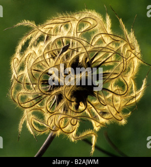 traveller's joy old man's beard Clematis vitalba seedhead - Stock Photo