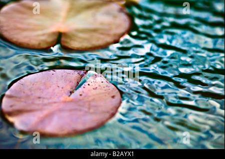 [close up] of lily pad at dusk