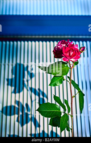 pink garden rose and shadow at dusk on graphic background - Stock Photo