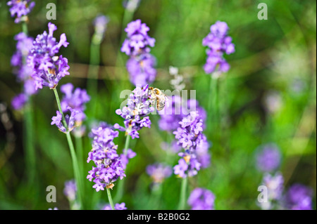 honey bee feeding on lavender nectar - Stock Photo