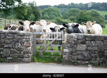 a small herd of cows blocking a gateway on a public footpath - Stock Photo