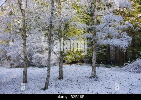 Snow covered Silver Birch trees at Swinbrook in Oxfordshire England United Kingdom - Stock Photo