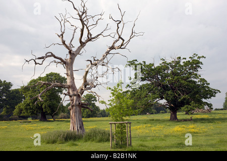 Dead Elm tree besides a newly planted sapling in Sherborne Gloucestershire United Kingdom - Stock Photo