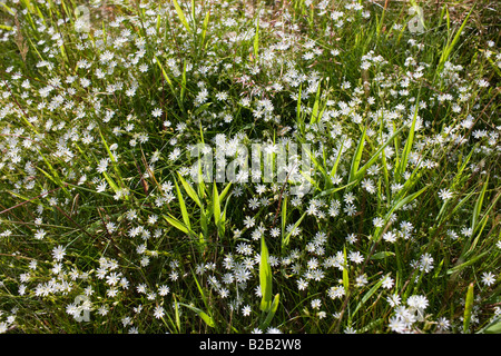 Daisies and grass growing in Norfolk England UK - Stock Photo