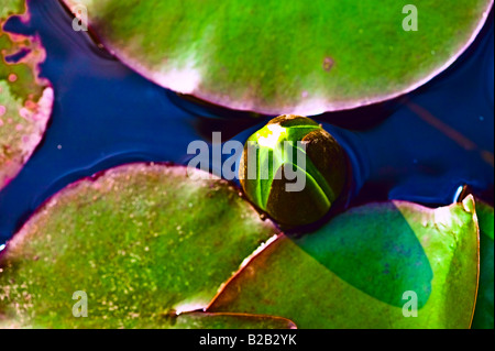 lily pad and waterlily buds[high angle view]