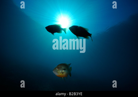 Bluegill Lepomis macrochirus Florida - Stock Photo