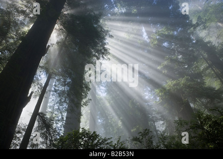 Sun rays filtering through foggy Redwood Forest - Stock Photo