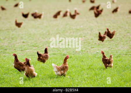 Free range chickens and hens Stow On The Wold Oxfordshire United Kingdom - Stock Photo