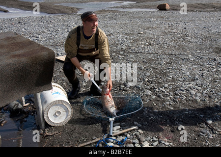 Fisherman filleting his caught of Salmon on the banks of the Copper River, near Chitina, Alaska. - Stock Photo