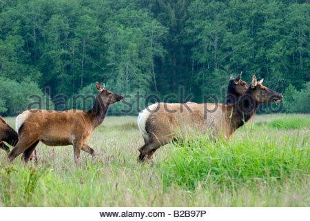 Pack of Roosevelt Elk Cervus canadensis Grazing in Meadow Prairie Creek State Park California - Stock Photo