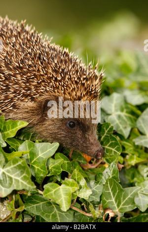 Hedgehog Erinaceus europaeus summer West Midlands - Stock Photo