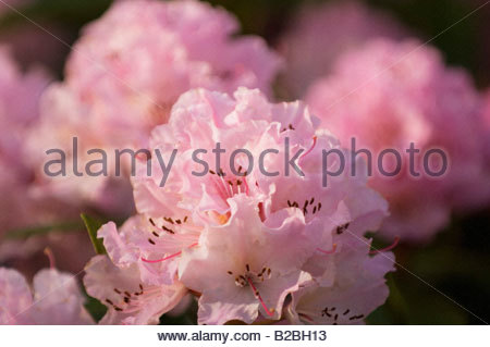 Close up of pink flowers - Stock Photo