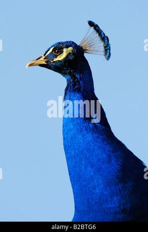 Peacock (Pavo cristatus) - Stock Photo