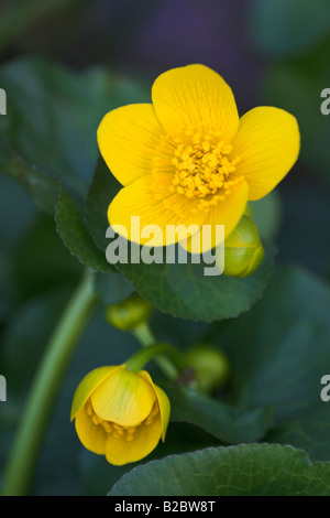 Kingcup, Marsh Marigold (Caltha palustris) in the Eyach Valley, Northern Black Forest, Baden-Wuerttemberg, Germany, - Stock Photo