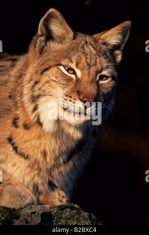 Eurasian Lynx (Lynx lynx) sitting on a rock in a forest, portrait - Stock Photo