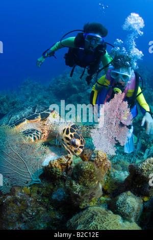 Young female scuba diver observing a Hawksbill Turtle (Eretmochelys imbricata) feeding, Roatán, Honduras, Caribbean - Stock Photo
