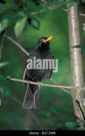 Common or Eurasian Blackbird (Turdus merula), Germany - Stock Photo