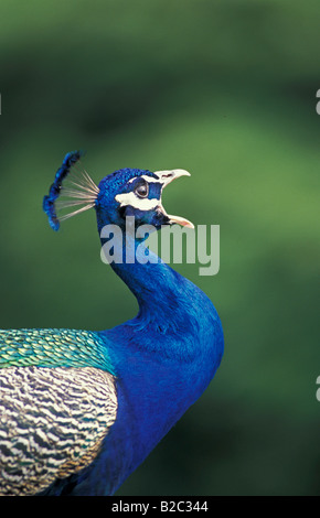 Peacock, Indian or Common Peafowl (Pavo cristatus), adult male calling, Germany - Stock Photo