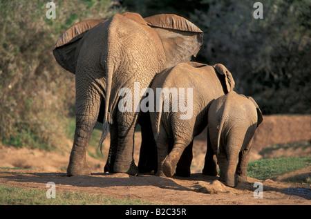 African Bush or Savanna Elephant (Loxodonta africana), cow and calves from behind, Addo Elephant National Park, - Stock Photo