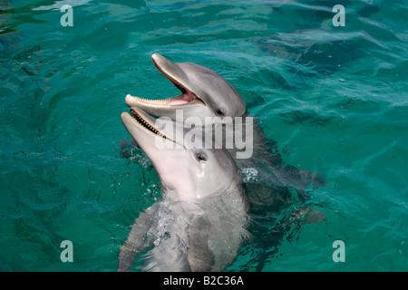 Common Bottlenose Dolphin (Tursiops truncatus), portrait, Caribbean, Roatan, Honduras, Central America - Stock Photo
