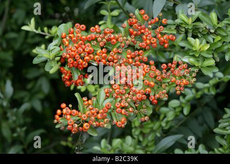 Firethorn (Pyracantha coccinea), fruit - Stock Photo
