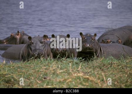 Group of Hippopotami in water, Chobe National Park, Botswana, Africa - Stock Photo