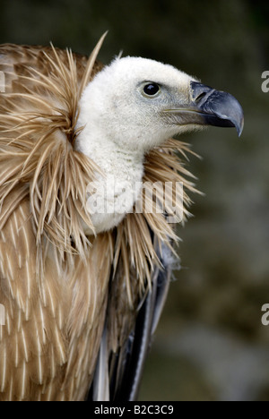 Griffon Vulture, or Eurasian Griffon Vulture, (Gyps fulvus), adult, portrait - Stock Photo