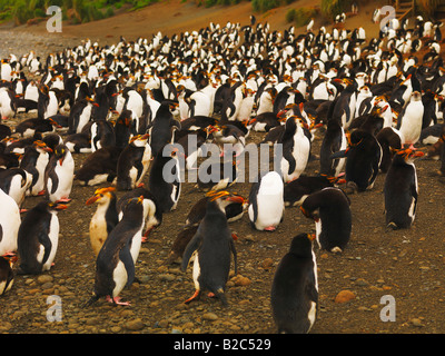 Royal Penguin colony (Eudyptes schlegeli) on Macquarie Island, Australian Antarctic - Stock Photo