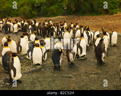 King Penguins (Aptenodytes patagonicus) and Royal Penguins (Eudyptes schlegeli) in a stream on Macquarie Island - Stock Photo